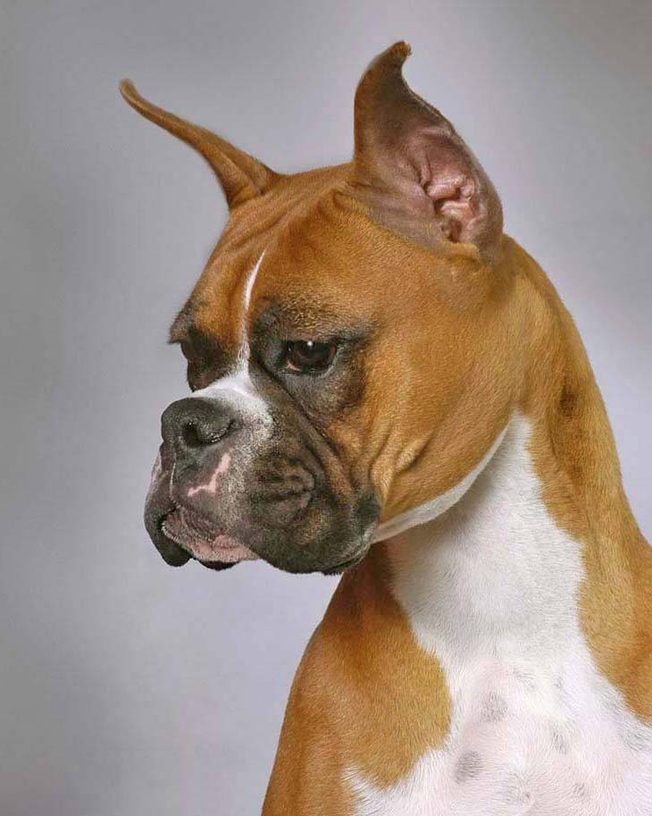 Beautiful Boxer dog on high alert