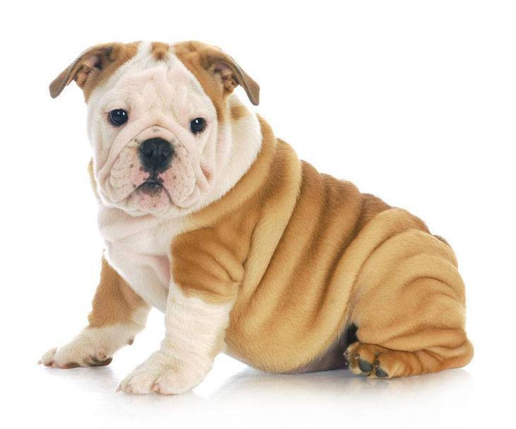 Wrinkly puppy