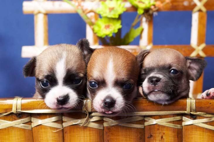 Three Chihuahua puppies ready to rumble