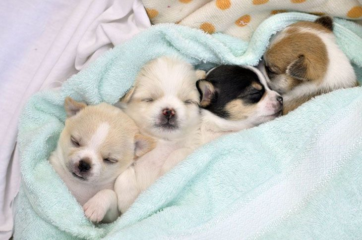 Chihuahua puppies taking a nap