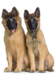 Breeds which are of German
