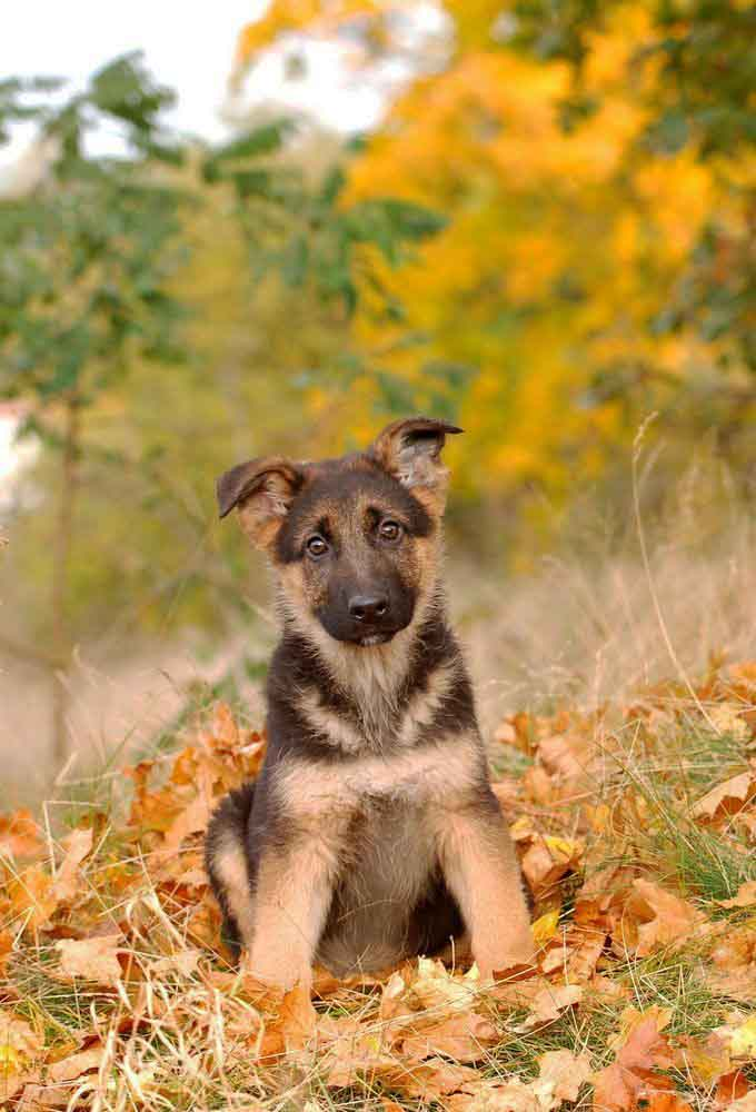German Shepherd puppy loving the fall time
