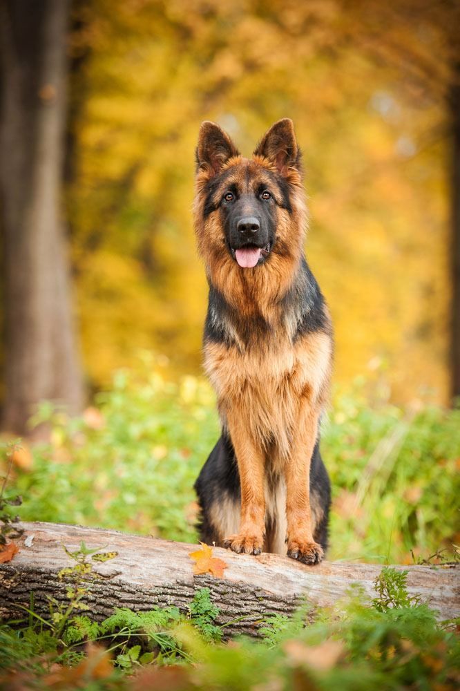 Cute German Shepherd Girl Dog Names