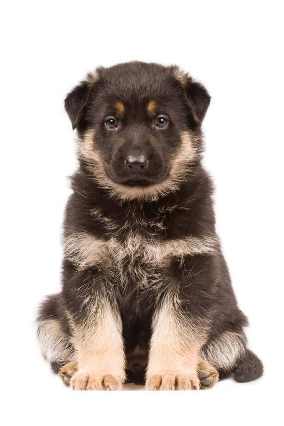 Cute German Shepherd puupy wanting some name suggestions