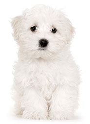 Names  Puppies on The Maltese  Which Were Once Used To Chase Rodents  Are Now Better