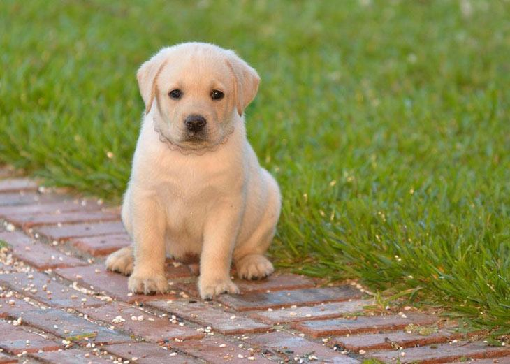 Dog Names For Male Labradors In India
