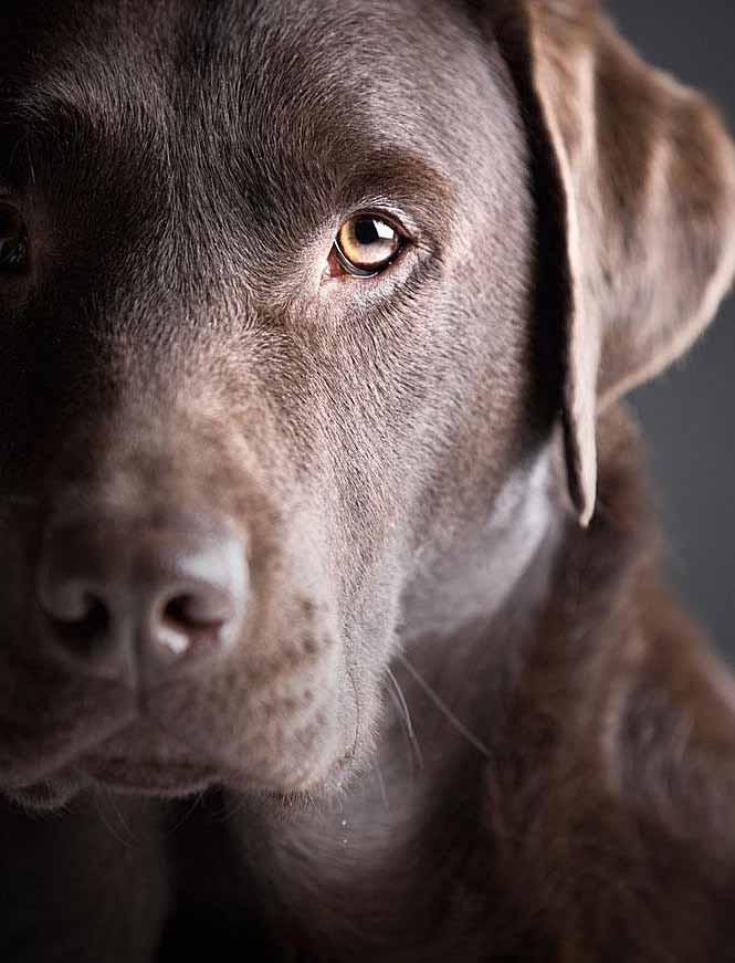 Beautiful Labrador Retriever closeup