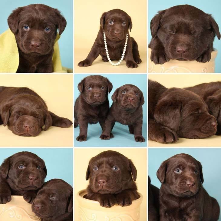 Chocolate Lab Names: Sweet Names For Female Or Male