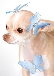 chihuahua angel searching for names for small dogs