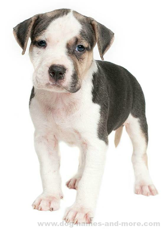 Male Pit Bull Names: Top Ideas For Your Boy Pitbull