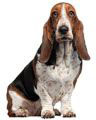 cute basset hound puppy