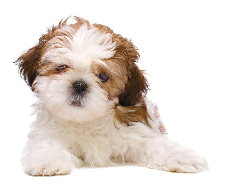 Shih Tzu Names Cute Male Female Ideas For This Dog
