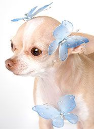 Images of Cute Chihuahua Names For Girls - #rock-cafe