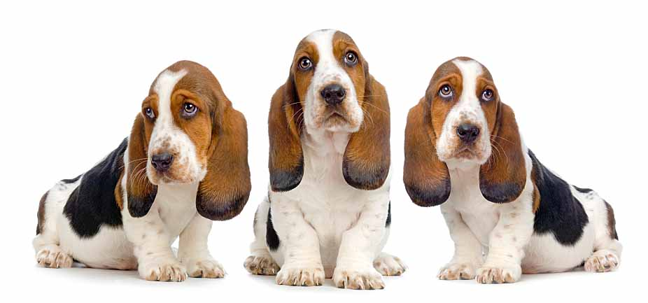 Adorable Basset Hounds