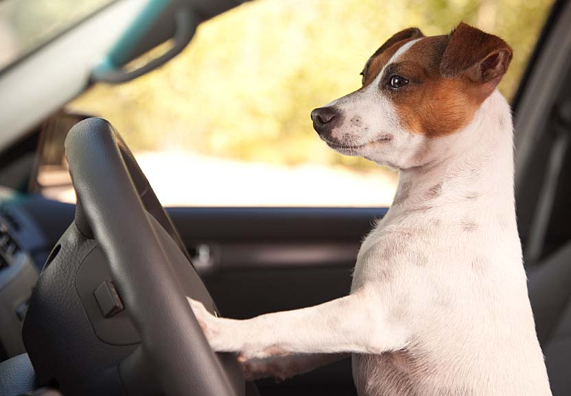 Dog teaching it's master how to drive