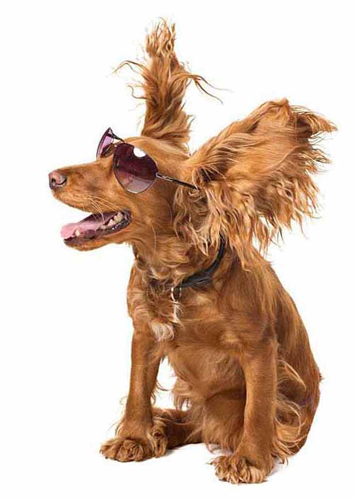 Cool dog enjoying a stiff breeze
