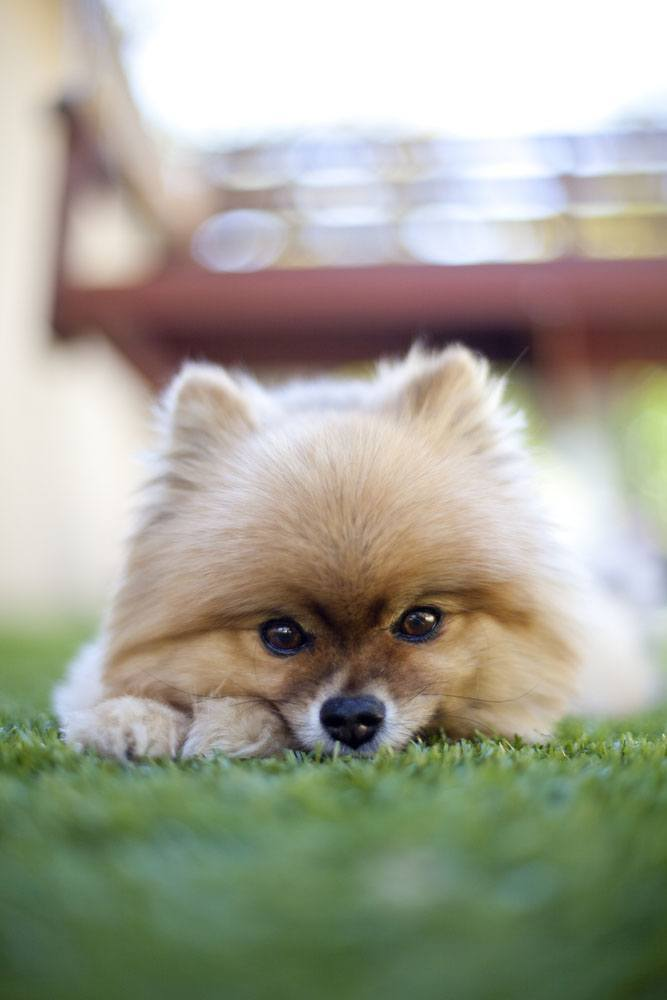 pomeranian dog names pomeranian names for your male or female puppy 3258