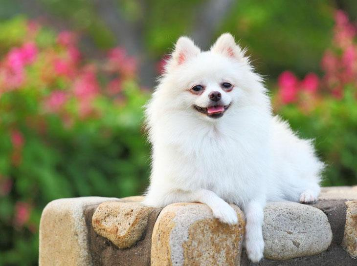 pomeranian dog names pomeranian names for your male or female puppy 6383