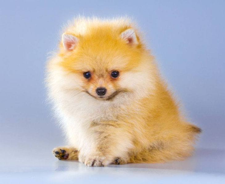 pomeranian dog names pomeranian names for your male or female puppy 5898