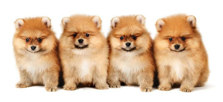 pomeranian dog names pomeranian names for your male or female puppy 2650