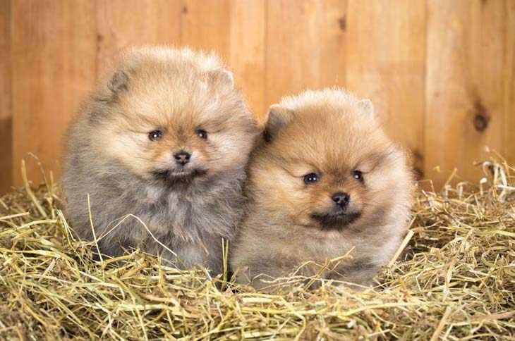 pomeranian dog names pomeranian names for your male or female puppy 7642