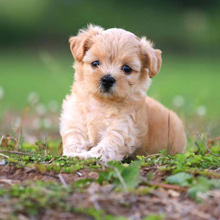 Poodle puppy cuteness