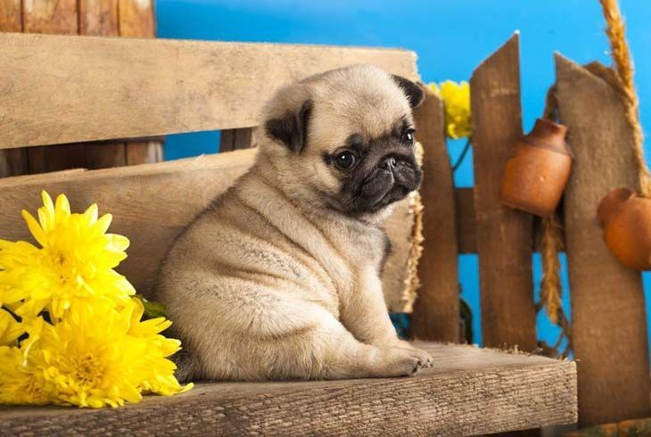 Pug Names For The One Of A Kind Male Or Female