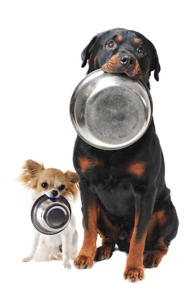 Hungry Rottweiler and his Chihuahua pal
