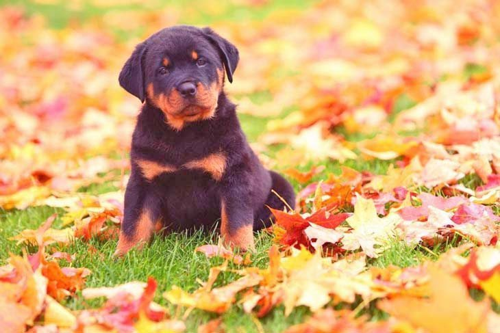 Rottweiler Dog Names Male