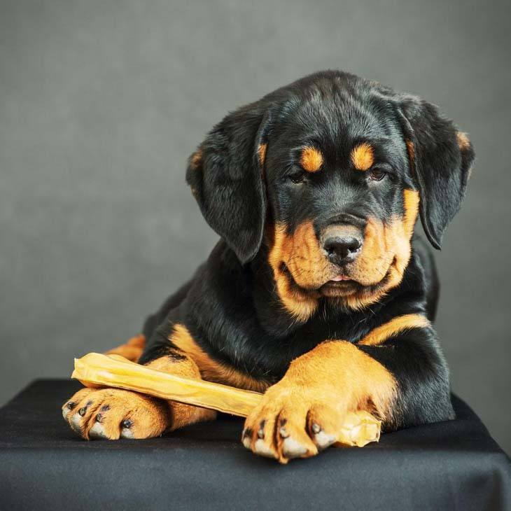Rottweiler Names Male And Female Names For Rotties