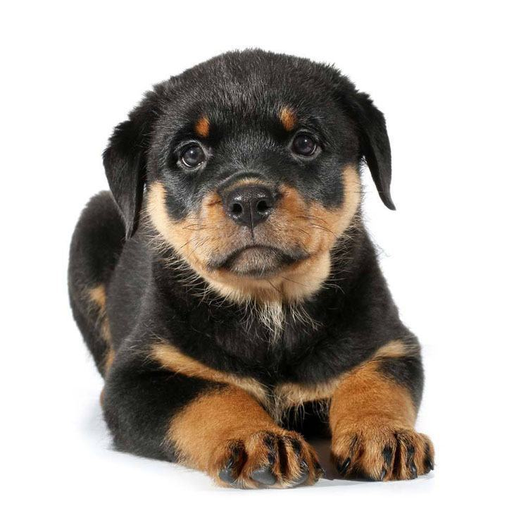 Top Rottweiler Dog Names