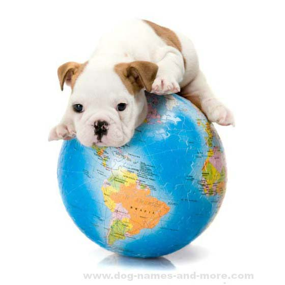 World traveling Bulldog puppy