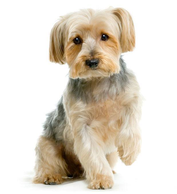 Are Yorkies Good Family Dogs