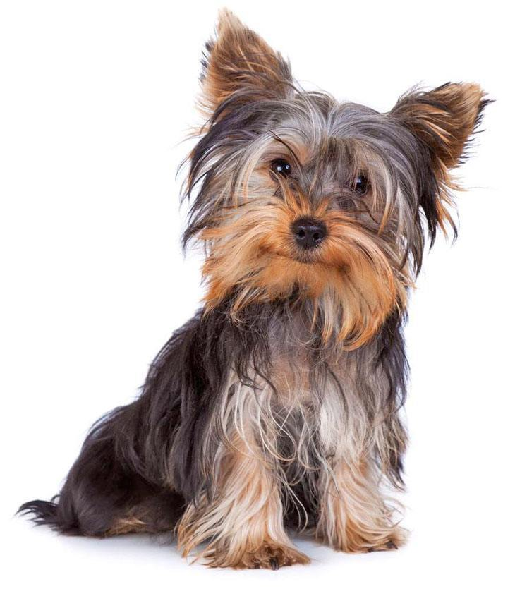 yorkie puppy names female yorkie names cute male female yorkshire terrier names 821