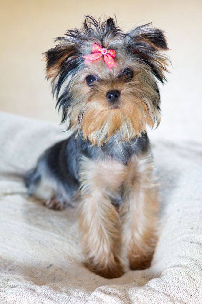 Yorkie Names Cute Male Female Yorkshire Terrier Names