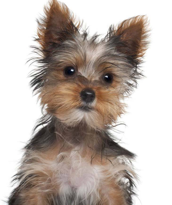 The Gallery For Gt Yorkshire Terrier Male Haircuts