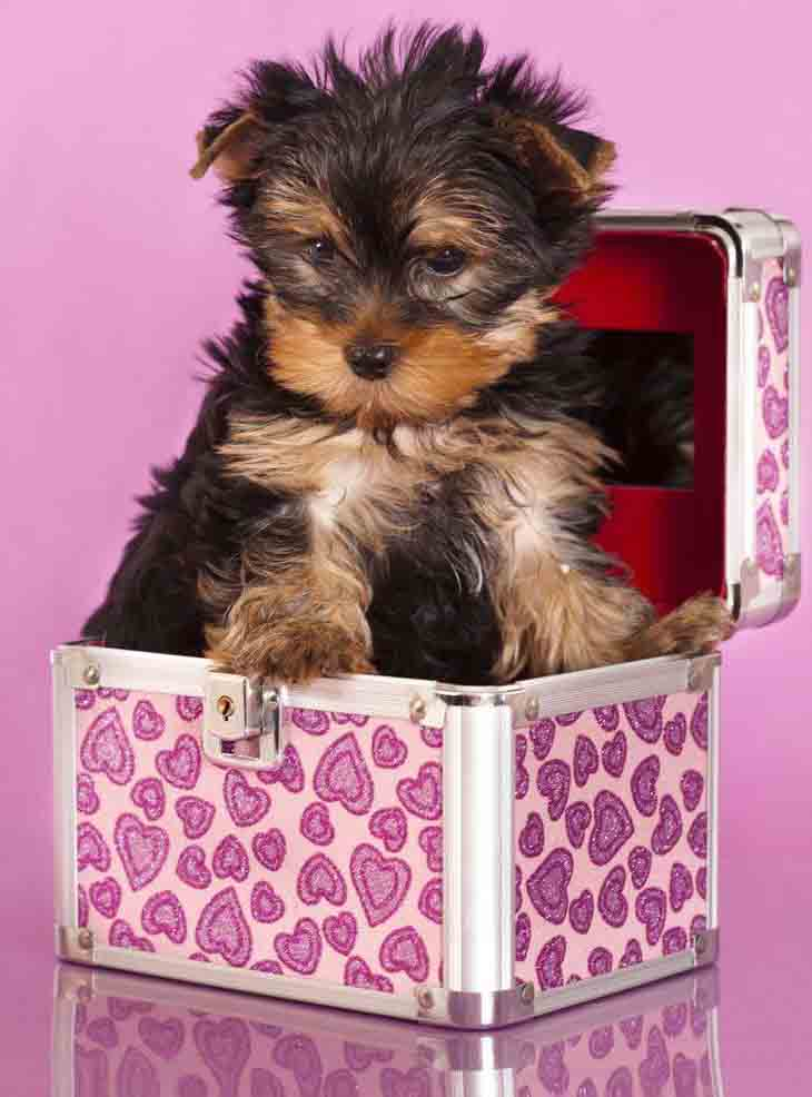 Yorkie Puppy Playing Hide And Seek